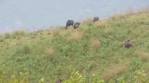 Bisons @ view point